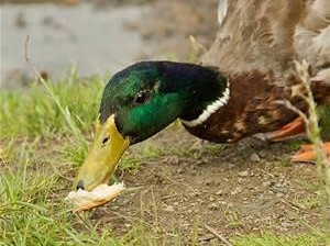 bread-duck