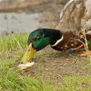 bread-duck